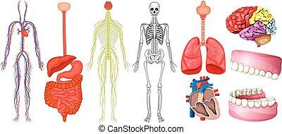 ábra, anatómia, emberi