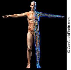 ábra, csontváz-, anatómia, belső, ember, hangerők, röntgen, systems.