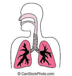 ábra, légzőrendszer, emberi