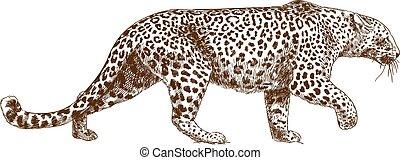 ábra, rajz, metszés, törpepapagáj, leopárd