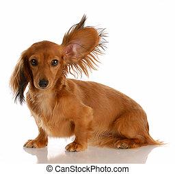 álló, hajú, feláll, hosszú, egy, kisméretű, kihallgatás, fül, tacskó