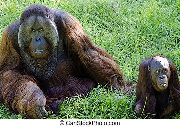 állatok, kicsapongó élet, -, orangutan