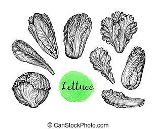 állhatatos, tinta, lettuce., skicc