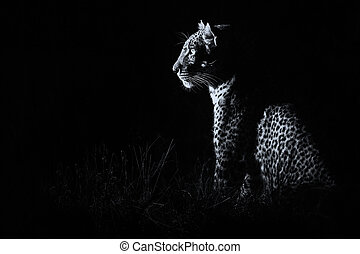 átalakítás, sötétség, vadászat, ülés, leopárd, zsákmány, művészi