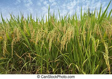 érés, mező, hántolatlan rizs