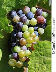 érés, szőlőtőke, szőlő