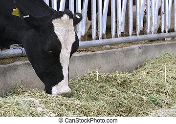 étkezési, tejgazdaság tehén