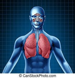 öböl, légzőrendszer, emberi