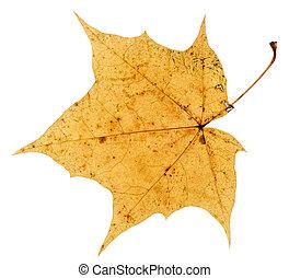 öreg fa, elszigetelt, sárga, ősz lap, juharfa