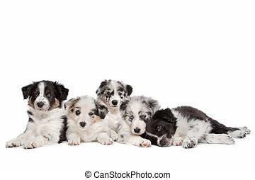 öt, skót juhászkutya, határ, csoport, kutyus