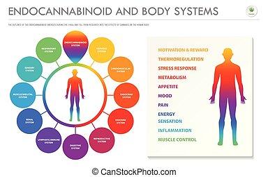 ügy, test, infographic, endocannabinoid, horizontális, rendszerek