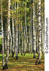 ősz erdő, napvilág, nyírfa