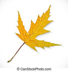 ősz, juharfa, fehér, levél növényen, elszigetelt, háttér, sárga