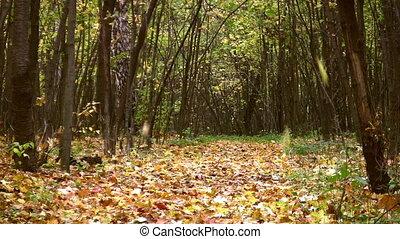 ősz kilépő, liget, bukás