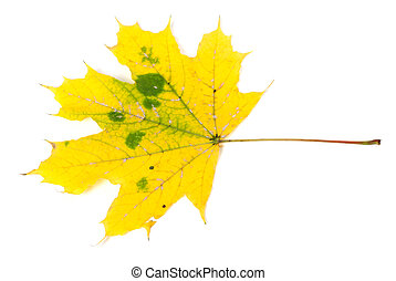 ősz, sárga, maple-leaf