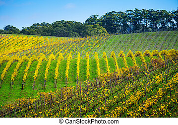 ősz, szőlőskert