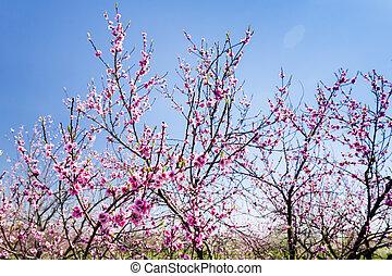 őszibarack, gyümölcsöskert, virágzó