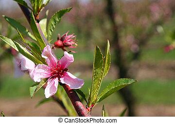 őszibarack, virágzó