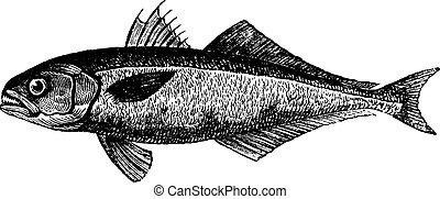 (1886, kékhal, illustration., trousset, szüret, -, 1891)., saltatrix), szab, (pomatomus, enciklopédia, bevésett, vagy