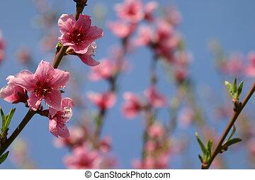 3, virág, őszibarack