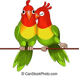 afrikai törpe papagájok, pár