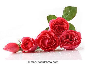 agancsrózsák, öt