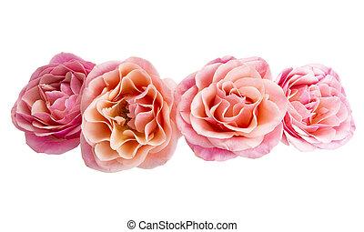 agancsrózsák, rózsaszínű, gyönyörű, elszigetelt