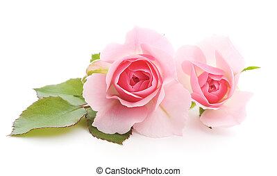 agancsrózsák, rózsaszínű