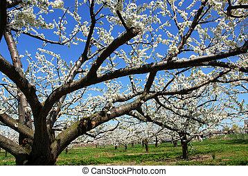 alma gyümölcsöskert