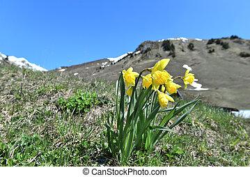 alpesi növény, alatt, gyönyörű, hegy, ég, virágzó, kaszáló, kék, nárciszok, elülső