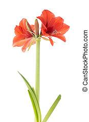 amarillisz, felett, white háttér, virágzó