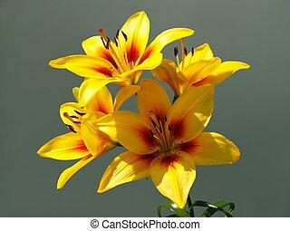 amarillisz, szürke, háttér, virágzó