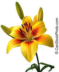 amarillisz, white háttér, virágzó