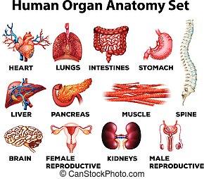 anatómia, állhatatos, emberi, orgánum