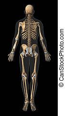 anatómia, ín, hátsó, csontváz, kilátás