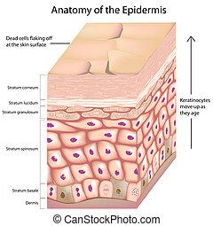 anatómia, 3, epidermisz