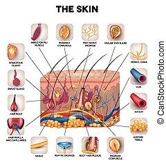 anatómia, bőr