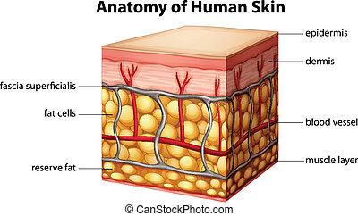 anatómia, emberi bőr