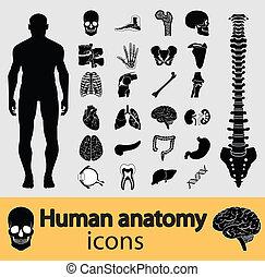 anatómia, emberi, ikonok