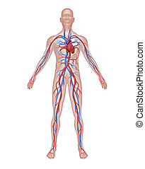anatómia, emberi, keringés