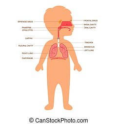 anatómia, emberi, légzőrendszer