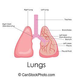 anatómia, emberi, tüdő