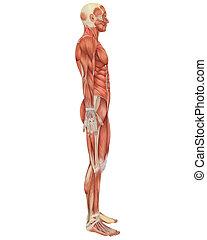 anatómia, hím, lejtő, erős, kilátás