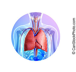 anatómia, hím, tüdő