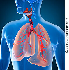 anatómia, légzőrendszer, emberi