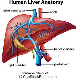 anatómia, lakos, emberi