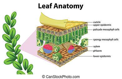 anatómia, levél növényen