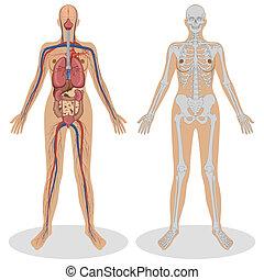 anatómia, nő, emberi