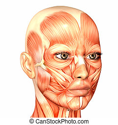 anatómia, női arc