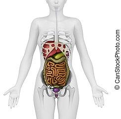 anatómia, potroh, női